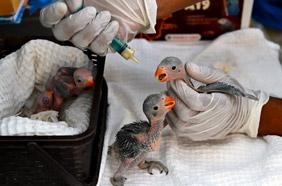 An Emergency Cesarean of a female Monkey at Jivdaya...