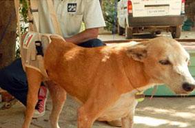 Spinally injured dog treated at Jivdaya Charitable