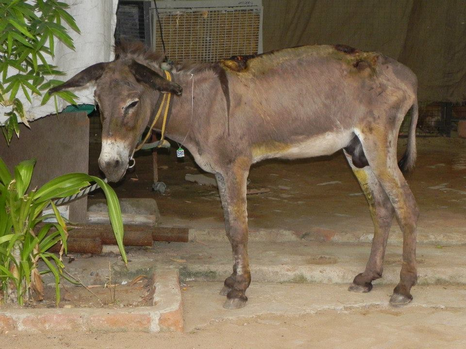 The rescued donkey at JCT