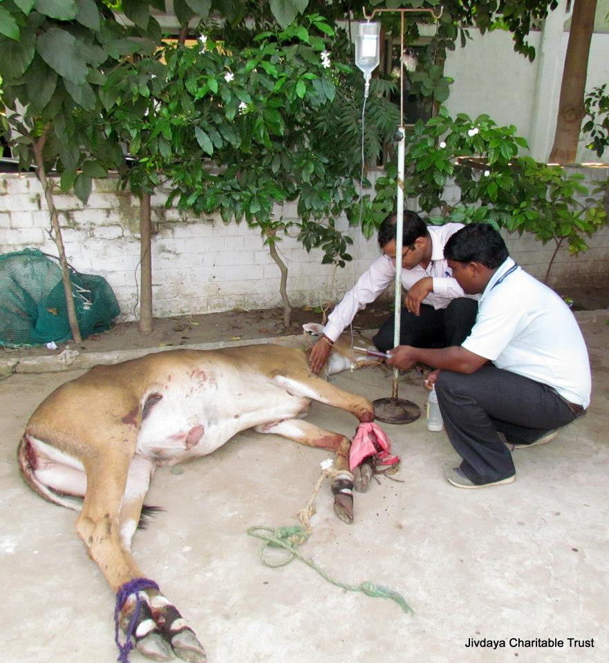 Our doctor checking the affected leg of the animal