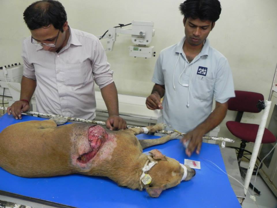 Dog badly cut with a sharp object